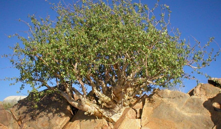 Мирра Commiphora mirra 2.jpg