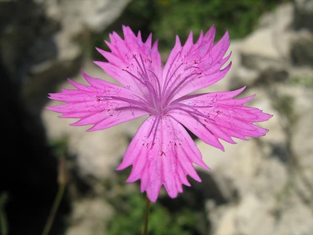 Dianthus Flora at Maniqa castle.jpg